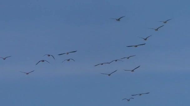 Ein Schwarm Graugänse auf der Flucht. fliegende Vögel am blauen Himmel.