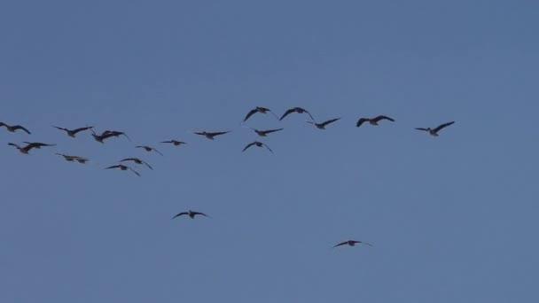 Flock of Wild grey geese in flight migration. Flying birds in the blue sky.