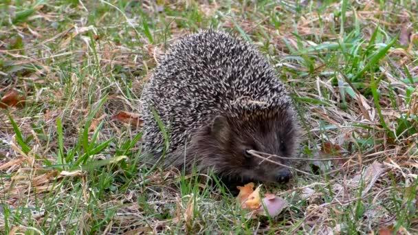 Hedgehog wild in the grass.