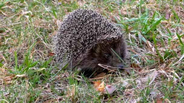 Sün vadon a fűben. Urchin állatok a természetes környezetben.