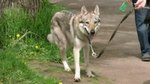 Farkas megszelídített-ra egy póráz gyaloglás-val a tulajdonos.