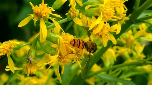 WASP ízletes eszik pollen-makró.