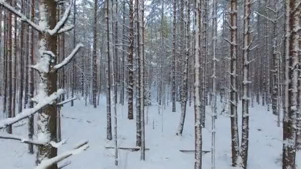 Repülés fenyőfák felett a taigai télen. A vadon élő erdők hófödte tűlevelű fái.