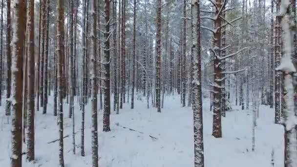 Let nad borovicemi tajgy v zimě. Sněhem pokryté jehličnany divokého lesa.