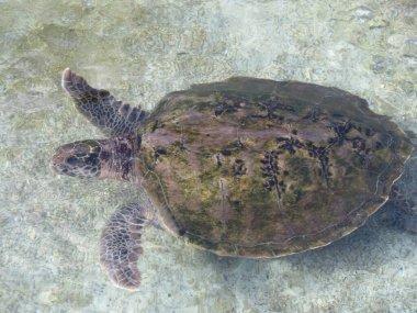 """Картина, постер, плакат, фотообои """"гавайи, большая черепаха плавает"""", артикул 396198060"""