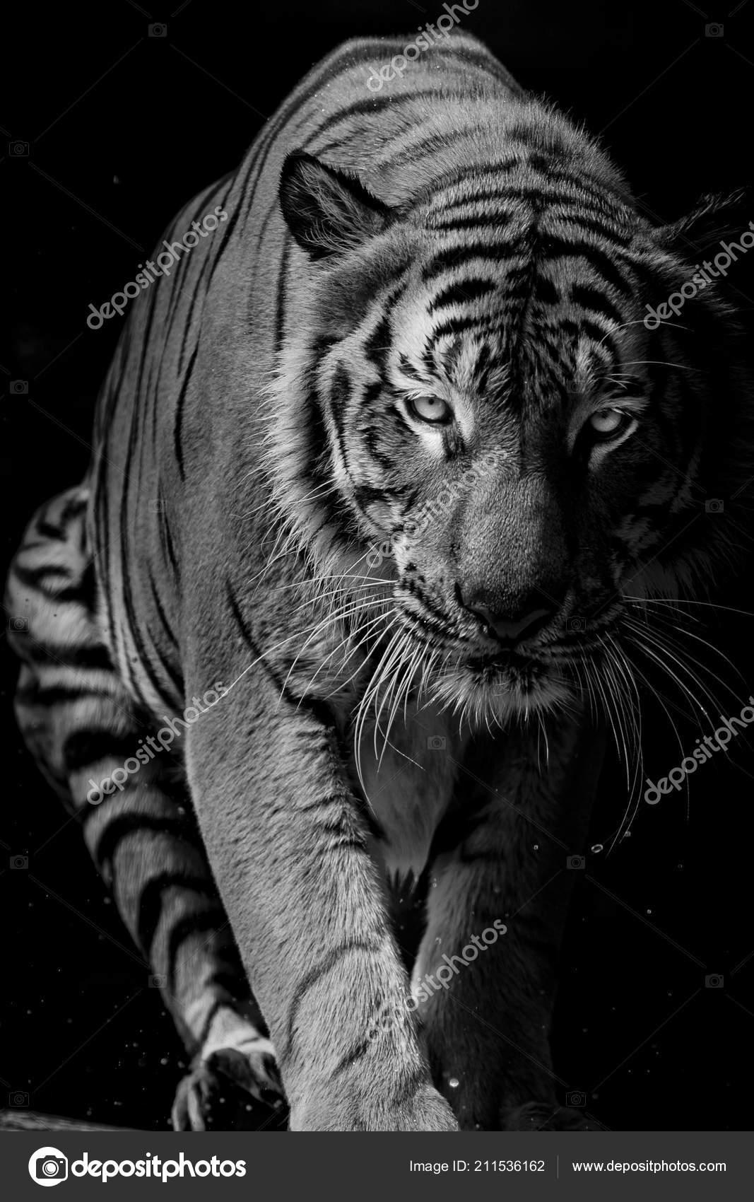 Black white tiger portrait front black background stock photo