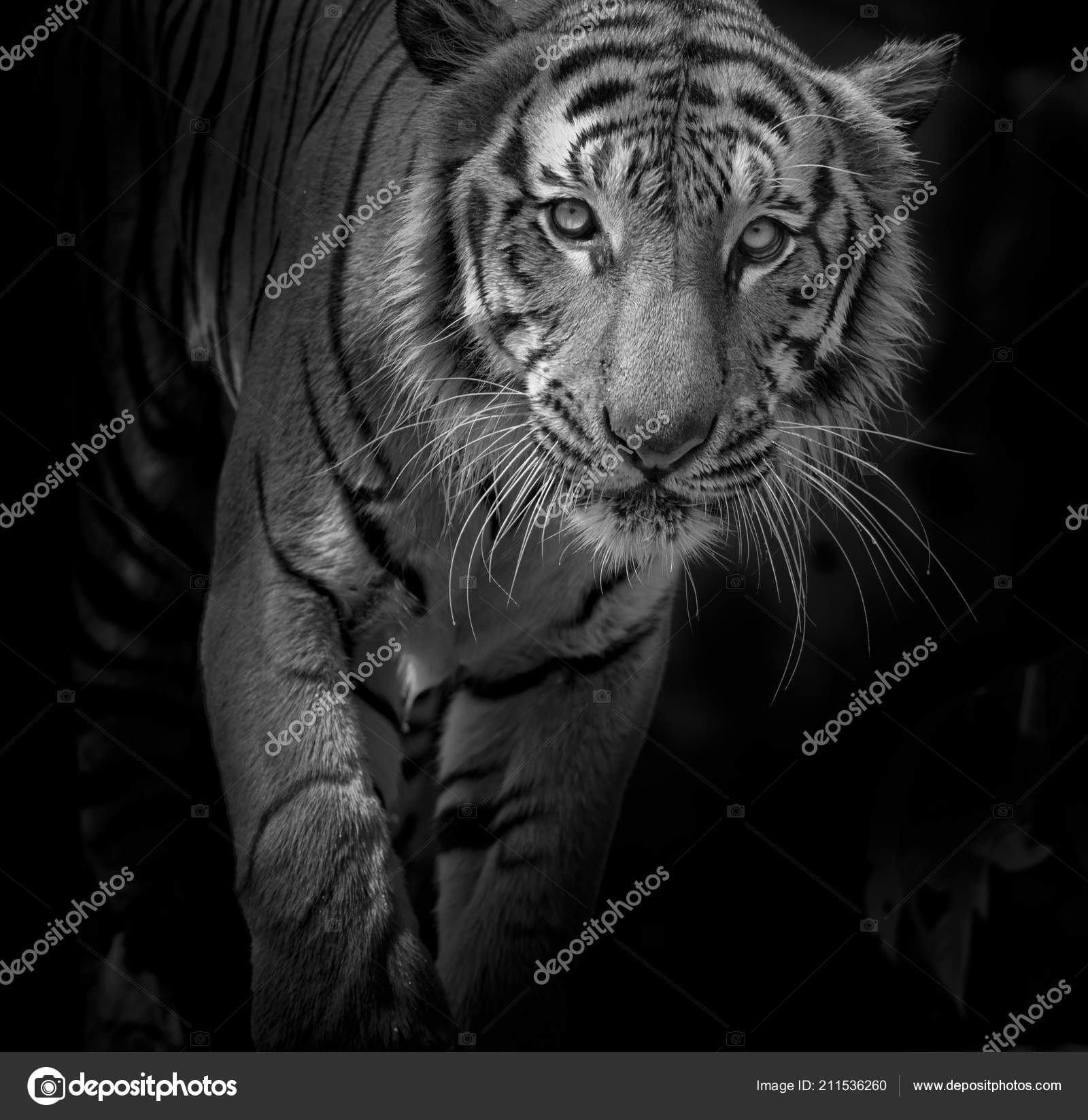 6e6a190b6 Black and white Tiger portrait in front of black background– stock image