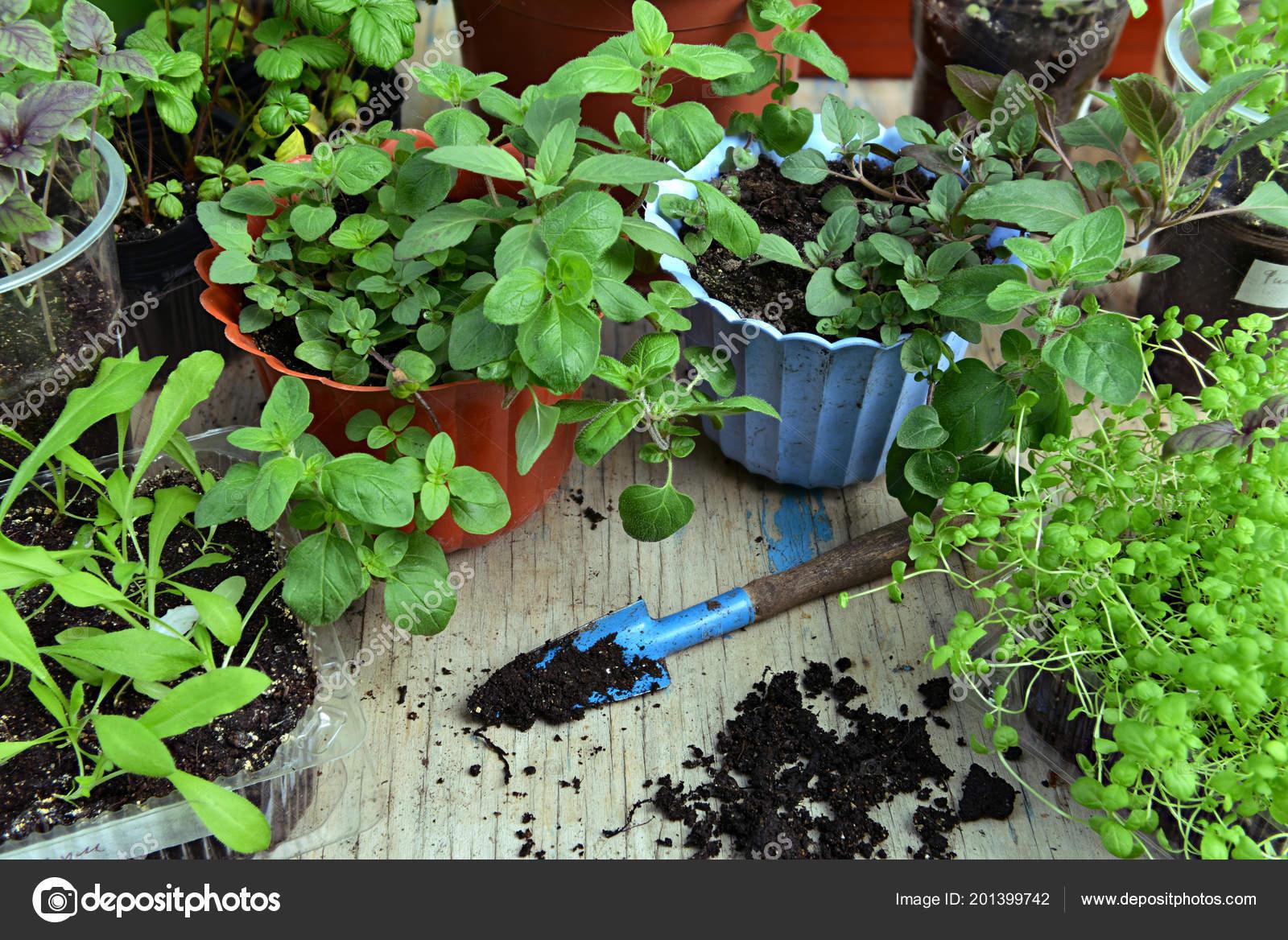 Sadzonki Melisa Mięta Kwiaty Doniczkach Pik Stole Vintage Ogród