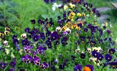 Krásné modré a lila viola květiny v záhonu na zahradě. Jarní a letní přírody vintage zázemí v letní přírodě
