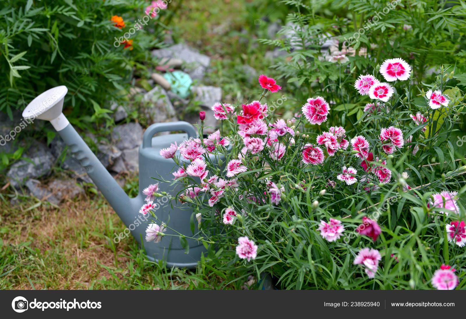 Beautiful Flowerbed Carnation Flowers Watering Can Garden Summer