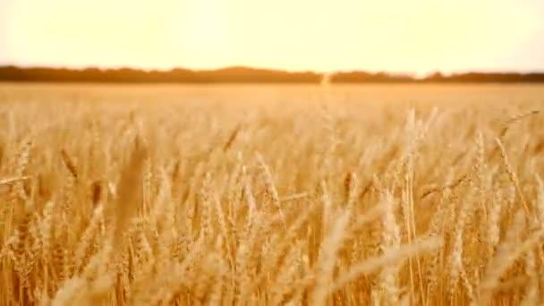 Búzamező fülekkel a szélben. A mezőgazdaság fejlődésének fogalma