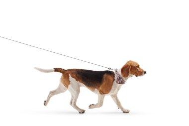 Profile shot of a beagle dog walking on a leash isolated on white background