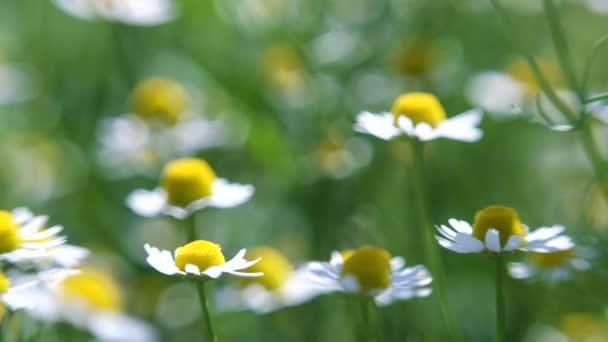 Sedmikrásky v trávě. Zpomalený pohyb květin. Heřmánkové květinové pole zblízka se slunečními erupcemi. Daisy květiny. Krásná přírodní scéna s kvetoucími medicínskými heřmánky v záři slunce. Letní slunečný den.
