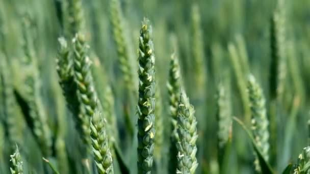 Ripening ears of meadow wheat field. Rich harvest Concept. Slow motion Wheat field. Ears of green wheat close up. Beautiful Nature, Rural Scenery.