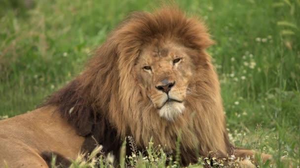 Férfi oroszlán hatalmas sörényével a fűben. Barbary oroszlán híres a hosszú sörényéről..