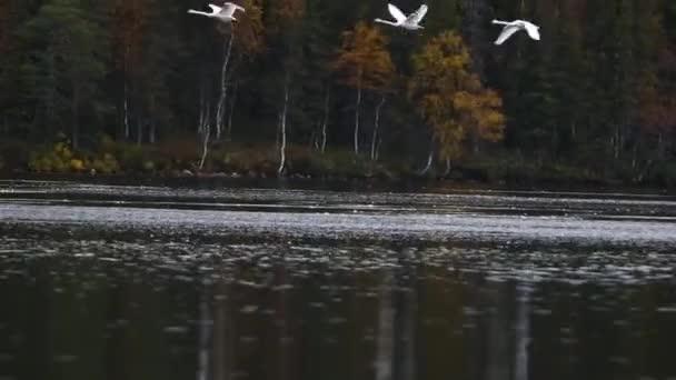Whooper hattyú csoport egy tó Lappföldön, Finnország