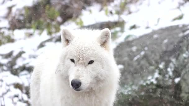 Polární vlci v zimní scény