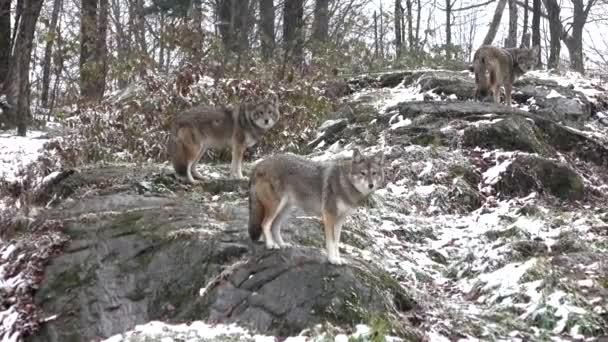 Coyote(s) in un inverno neve caduta