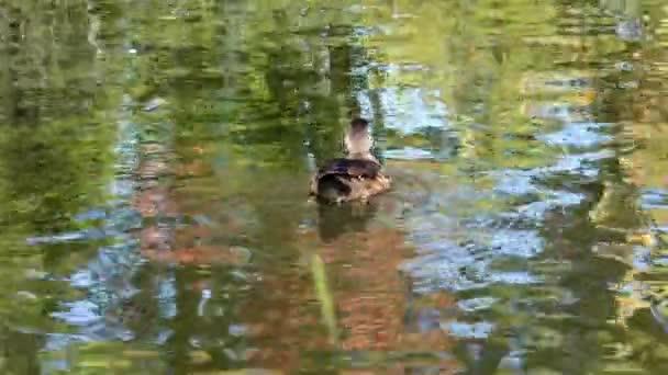 Kachní dřevní kachna na jezeře