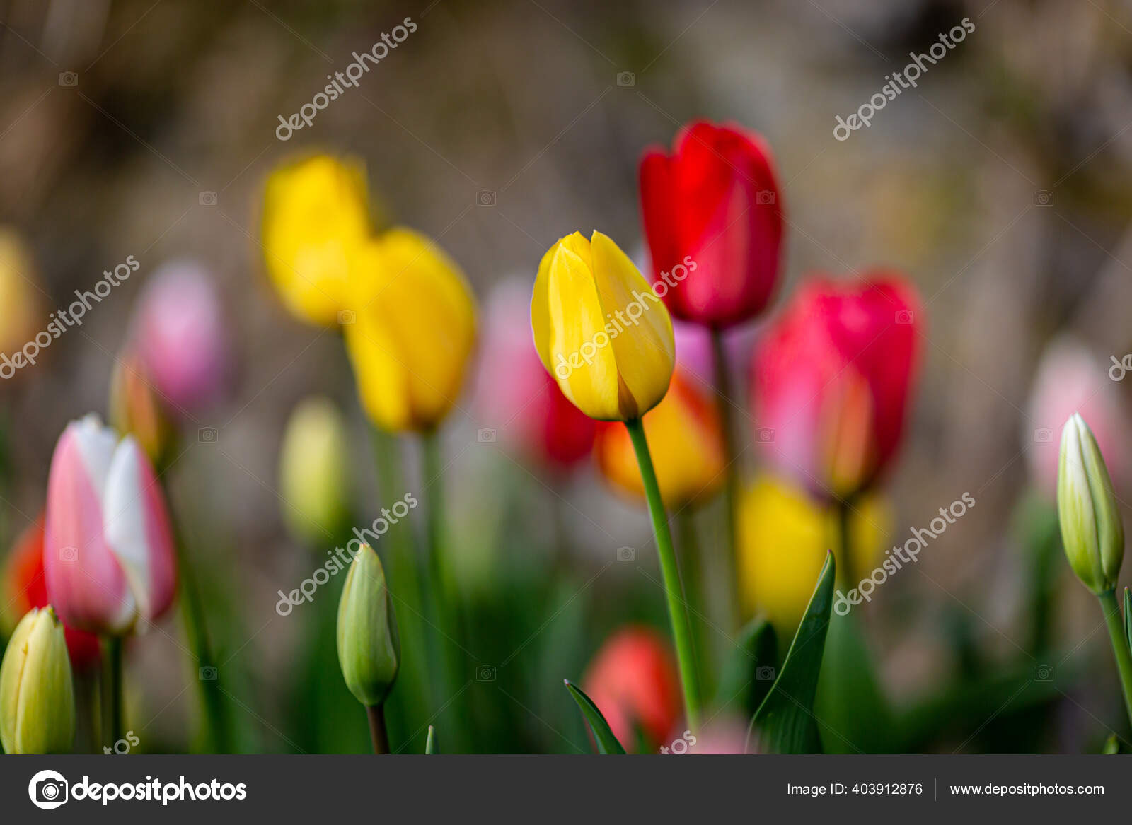 Sebuah Bunga Tulip Berwarna Warni Dengan Kedalaman Bidang Yang Dangkal Stok Foto C Lemanieh 403912876