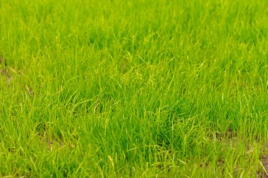 young green grass. natural background. natural green lawn