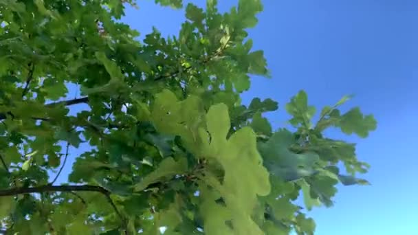 Slow motion video of an oak tree with green leaves against a beautiful blue sky on a sunny summer day.