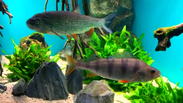 Beautiful fish - crucian carp, chub and perch swim in clear aquarium water against a background of stones, algae and wooden snags.
