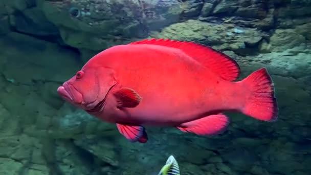 Skupina rajčat plave v čisté vodě z akvária. Podvodní mořské ryby v akváriu na pozadí skal a kamenů.
