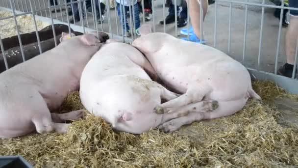 Viele Schweine von Erwachsenen Personen liegen auf dem Heu im stall