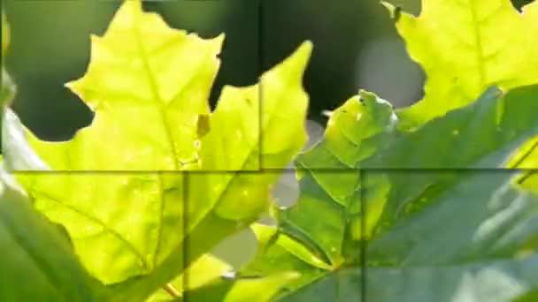 Javorové listy close-up větru za slunečného dne