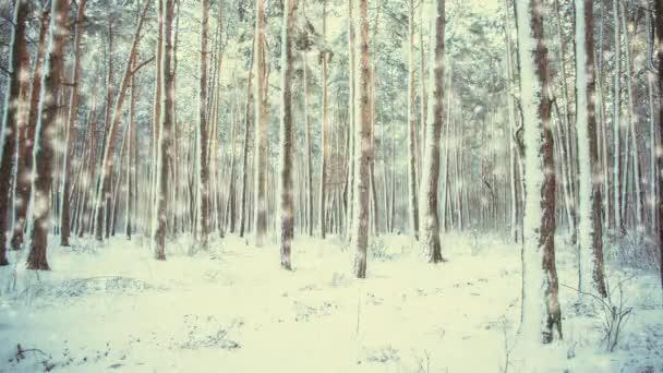 Krásné zasněžené stromy smrk v lese v zimě při sněhu