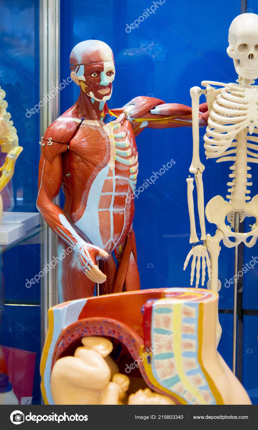 Estructura De Anatomía Humana Foto De Stock Marina1408