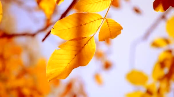 Yellow leaf on a branch on background of blurred yellow leaves close-up