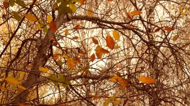 gelbe und braune Blätter auf Zweigen an Bäumen Herbstzeit. Blätter auf Ästen Baum schwanken im Wind Herbsttag. schöne natürliche Herbstkulisse.