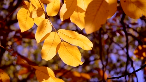 The sun shines through the yellow leaves in autumn close-up