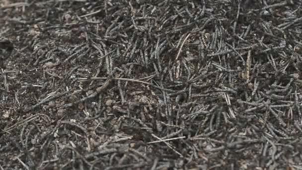 wild life belarus, europe: Colony Of Ants