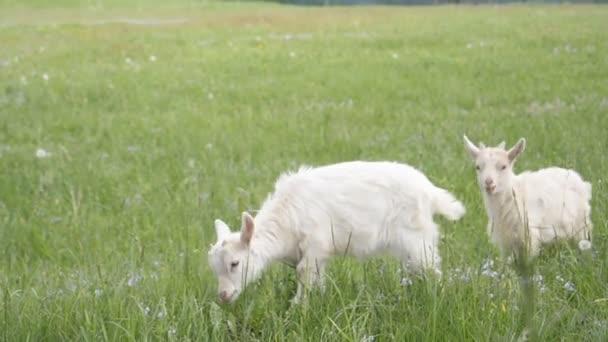 Dětské kozy běžící na farmě