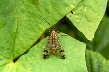 Common Scorpion Fly (Panorpa communis) an abundant harmless insect species found in the UK and Europe stock photo image