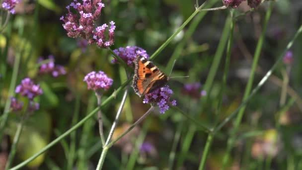 Festett Lady pillangó (Vanessa cardui)