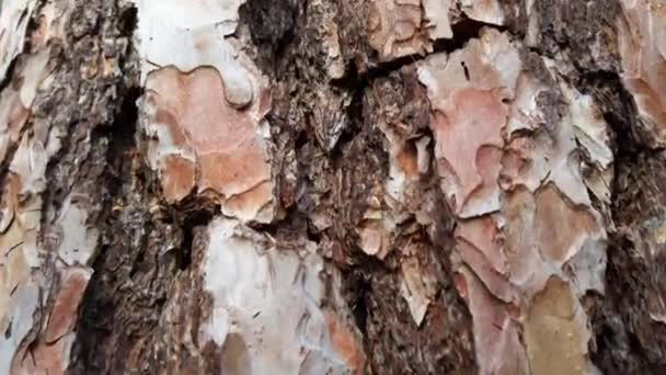 Pine tree in the forest, shooting bark and tree trunk.