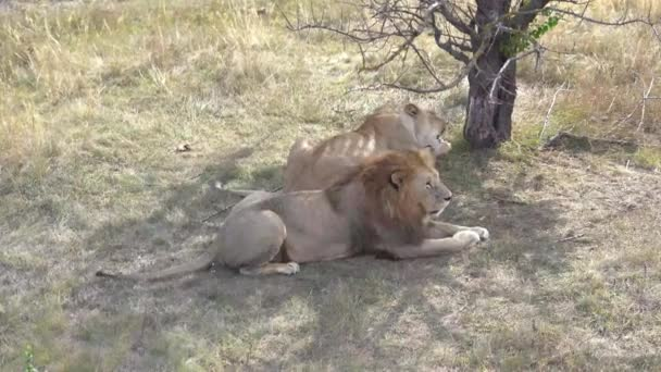 Video as a family of lions eat meat under a tree