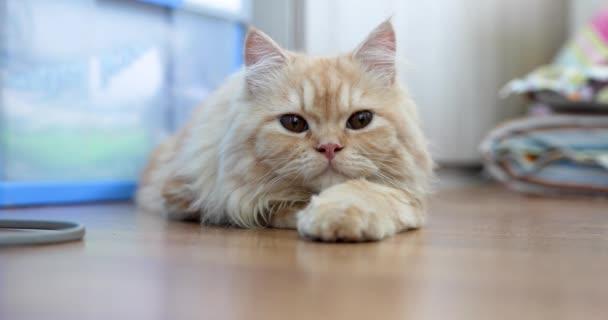 Álmos aranyos aranyos gyömbér baba arc perzsa macska feküdt a földön