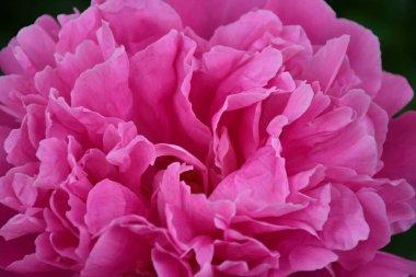 """Картина, постер, плакат, фотообои """"абстрактный фон розовых лепестков пиона. крупный план цветка пиона. постеры"""", артикул 409269948"""