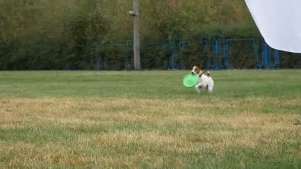 foxteriér s frisbee