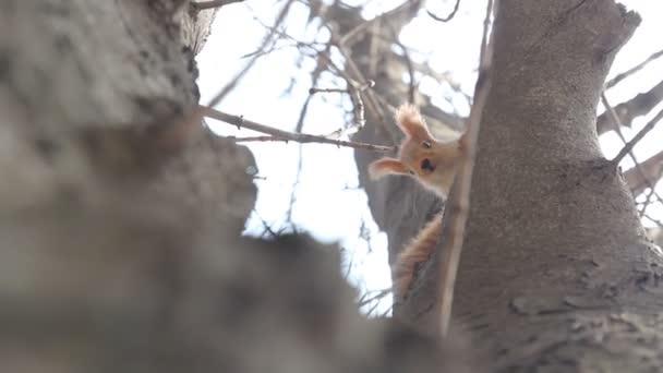 Eurázsiai vörös mókus ül a fa törzse és látszó-on fényképezőgép