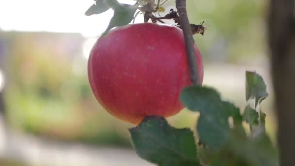 Egyetlen piros utolsó Alma a fa ága ősszel