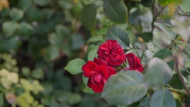 A nyári kert virágzó rózsák. Piros virág bimbók.
