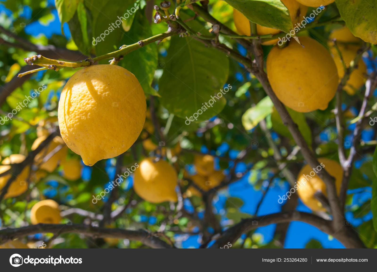 Ganz und zu Extrem Zitronen Baum Ein Zitronenhain Der Erntezeit Sizilien — Stockfoto &UK_84
