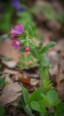 Pink and blue flowers Unspotted lungwort or Suffolk lungwort Pulmonaria obskura in the early spring