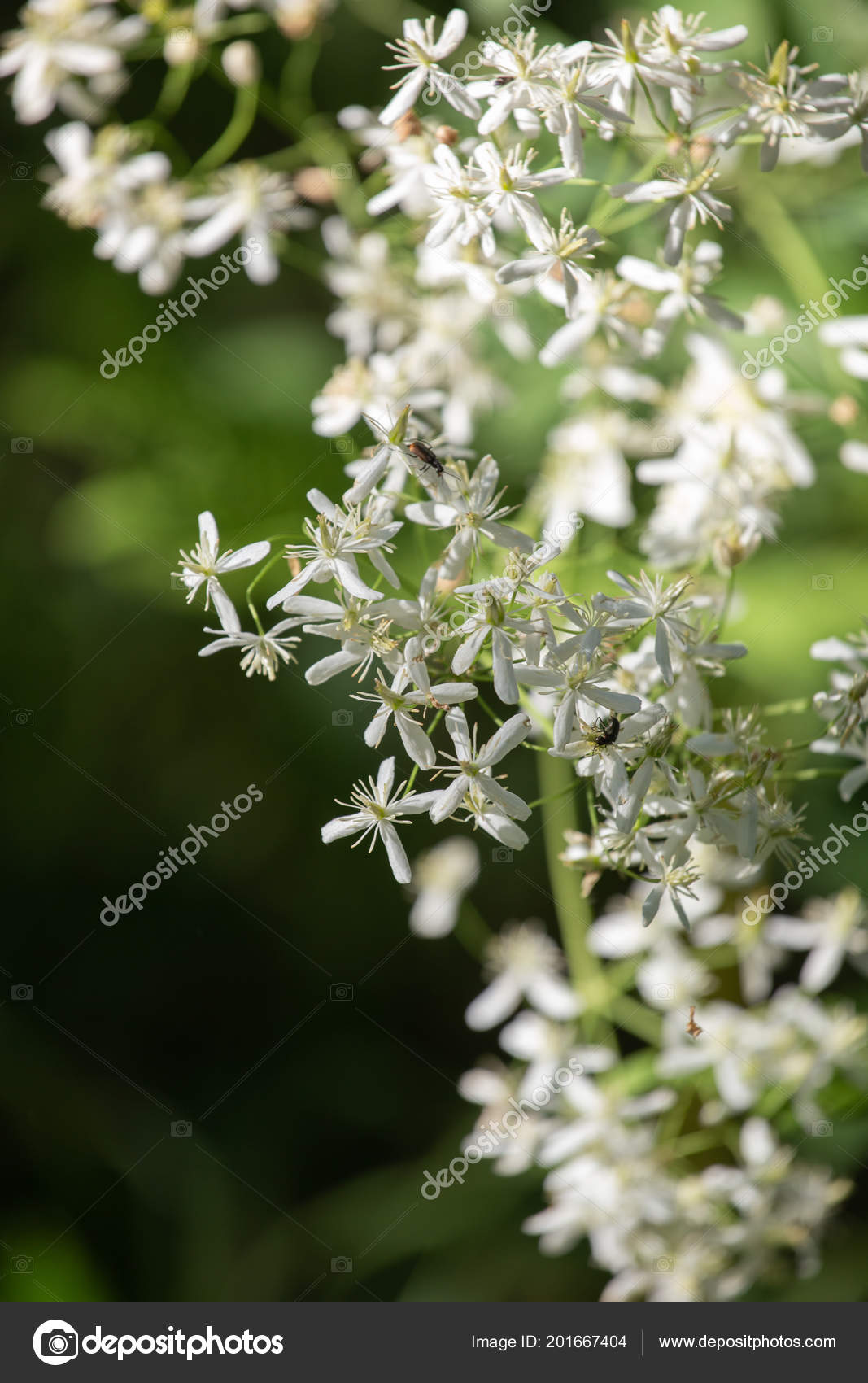 Erect Clematis White Flowers Latin Name Clematis Recta Stock